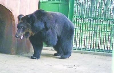 """昨日,在营口人民公园里,这只""""断掌熊""""不断地晃脑袋,很惹人爱。"""