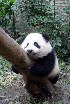 台北大熊猫宝宝是小壮妞 爱玩妈妈粪便