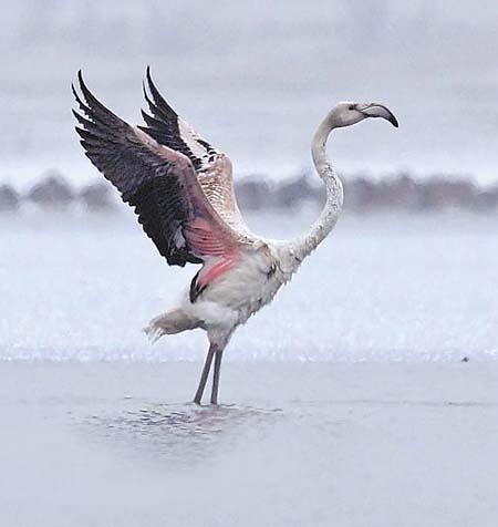 翩翩起舞的火烈鸟(郭元清供图)