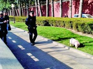 长安街遛弯小猪丢了
