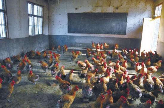 教室变成养鸡场。