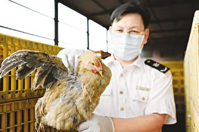 经深圳检验检疫局检测的供港活鸡。来源 香港《文汇报》