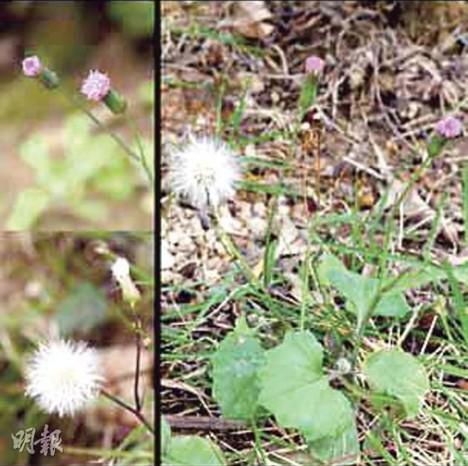 """有驱风祛湿功效、含毒素的中草药""""一点红""""在香港常见。来源 香港《明报》"""