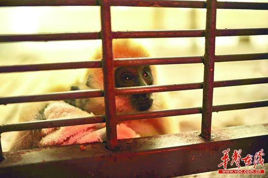 12月11日,长沙市生态动物园,小长臂猿在有地暖的笼子里玩耍.