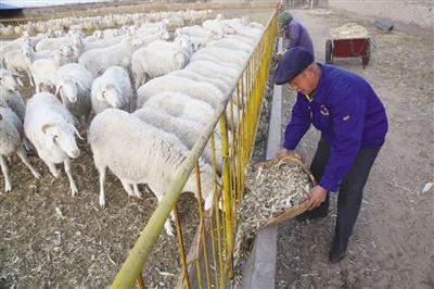 乌审旗养羊合作社采用科学方法饲喂肉羊(图)