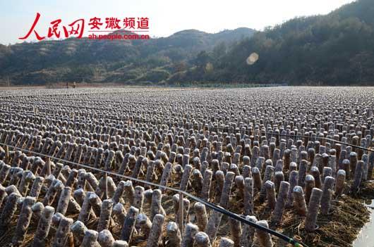 人民网讯 近日,在岳西县五河镇五河村的河西畈上,只见成片的黑木耳棒一字排开,黑木耳一个个探出小脑袋,长势十分喜人。