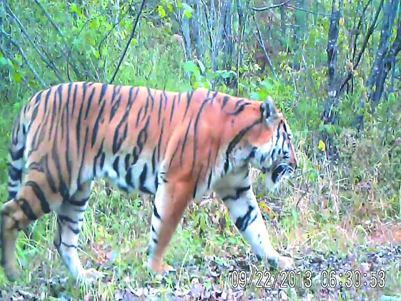 视频 野生/图为野生东北虎在林中散步视频截图。