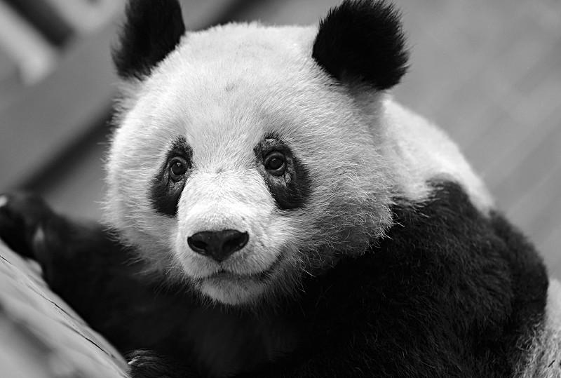东欧少女挑战超级大黑吊_杭州一大熊猫\