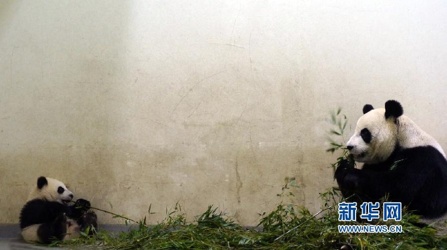 """大熊猫""""圆仔""""跟妈妈学啃竹子"""
