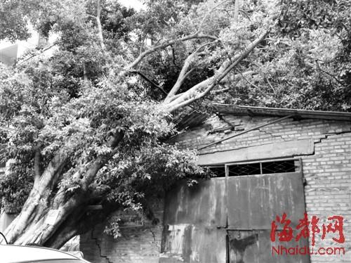 大树倒下,压了房子