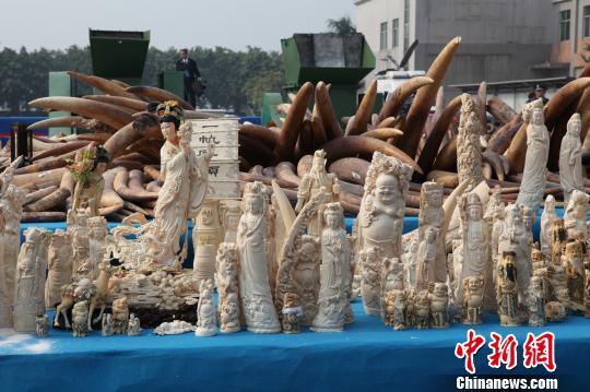 销毁象牙_中国公开在东莞销毁6.1吨执法查没象牙(图)-搜狐新闻