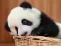 怪异的熊猫宝宝