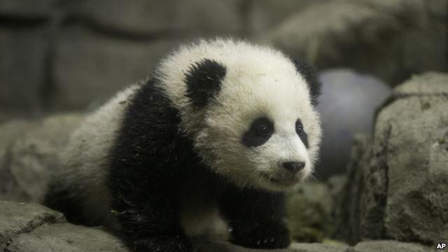 原标题:华盛顿动物园熊猫宝宝将首次与美公众见面   【环球网报道 记者 乌元春】综合美国媒体,美国史密森尼学会下属的国家动物园的熊猫宝宝现在已经4个月大了,她的体重有7.9公斤。宝宝将于1月18日首次与美国公众见面。华盛顿国家动物园里的熊猫护理人员称,宝宝在这里得到了最好的医疗照顾。   据美国《华盛顿邮报》1月6日报道,大熊猫项目生物学家汤姆森介绍说,宝宝的性情与她的哥哥泰山有点不一样。她的性格很随和。你可以看到,她好像不介意与我们打交道。她从来不会因为我们把她拎起来而不高兴。与