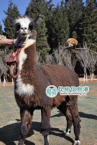8日,云南野生动物园发起了马年圆梦的活动.