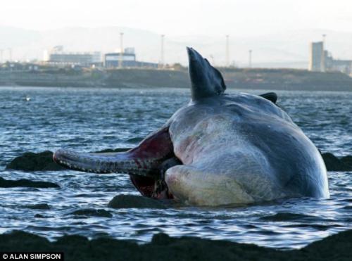 这头抹香鲸是死后被海水冲刷到英国的浅滩上的。