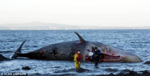 抹香鲸是食肉性哺乳动物,成年体重能够达到40吨。