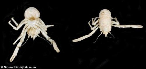 该新物种形似龙虾,由于生活在海洋深处,终日不见光,通体呈白色。