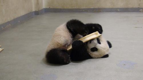 """台北市立动物园将办""""熊熊研习营""""介绍各种熊(图)"""