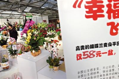 昨日,北京世纪奥桥花卉园艺中心,蝴蝶兰打出了58元一盆的特价,今年年宵花销售遇冷。 新京报记者 薛�B
