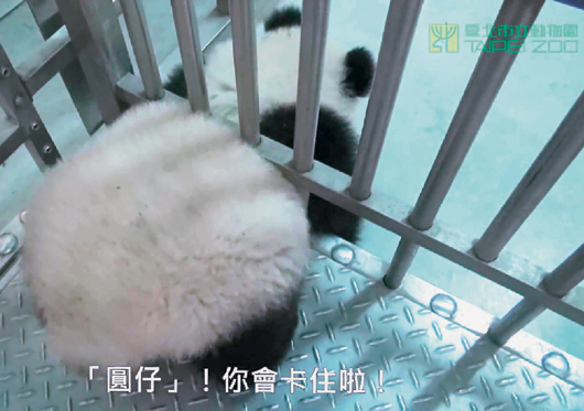 熊猫宝宝圆仔太胖?台北市动物园:只是毛蓬松(哇哇图片表情图片