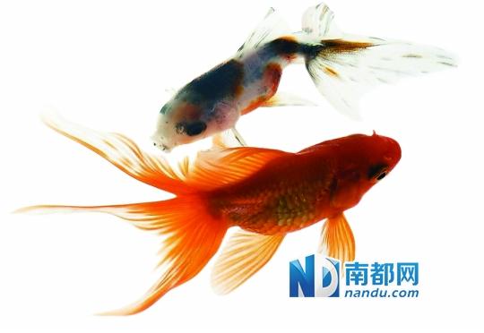 快递公司将邮寄金鱼养在自家水池客户啼笑皆非