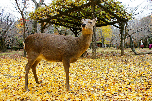 中国境内分布者几个亚种,四川马鹿(白臀鹿),西藏马鹿和满洲马鹿等.