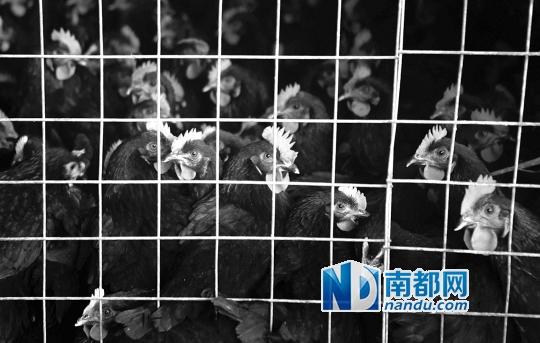 2月10日下午,惠州市三鸟批发市场格外冷清,不少档主降下帆布和塑料膜为活鸡遮挡寒风。南都记者 陈伟斌 摄