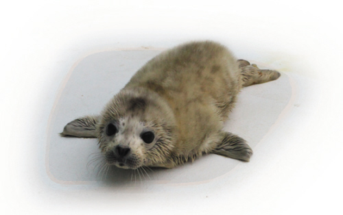 刚出生的斑海豹通体黄色胎毛.照片由受访单位提供图片