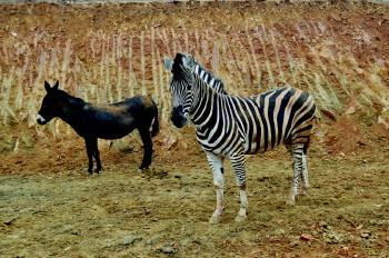 青岛森林野生动物世界的大肚母驴和斑马. 李焕斌 摄