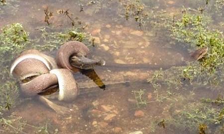 """""""蛇鳄""""大战 巨蛇将鳄鱼吞下肚(图)"""