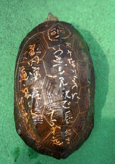 赤焰金龟_日本奈良发现\