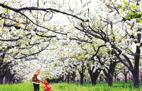 树山梨花节_记者日前从树山生态村获悉,一年一度的高新区树山梨花节即将于3月中