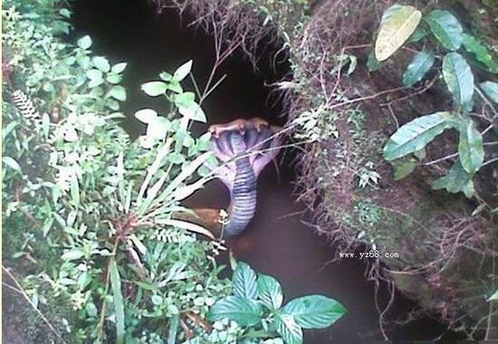 五头蛇罕见图片_印度神庙惊现五头蛇 世间罕有有图为证被称妖精(图)-搜狐大连