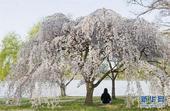 世界最美五处春日赏花地 荷兰邂逅郁金香