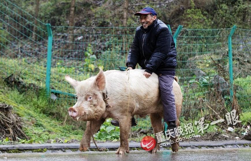 猪操人_重庆老人骑500斤猪逛街 霸气坐骑引路人侧目(组图)-搜狐滚动