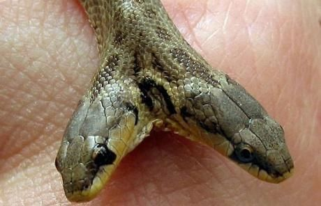 五头蛇_印度神庙惊现五头蛇 全球罕见怪种生物大揭秘(组图)