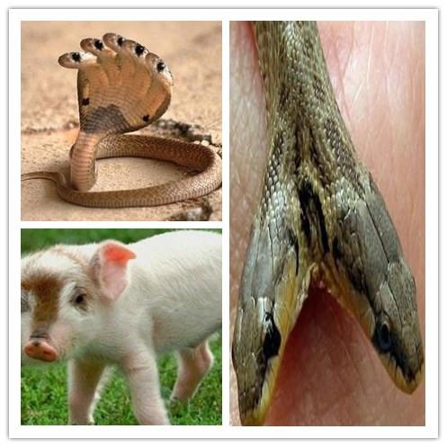 动物 神庙/印度神庙惊现五头蛇解全球双头动物罕见的怪异现象