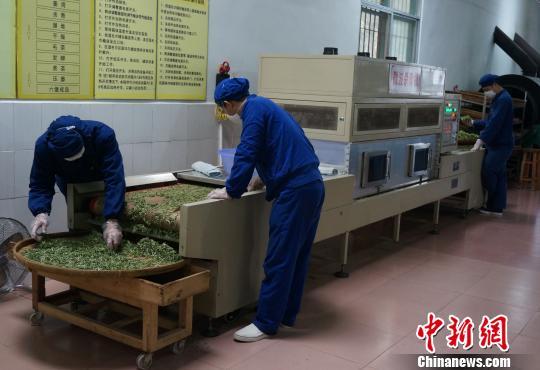图为采茶女正在忙着采摘春茶。 赵琳露 摄