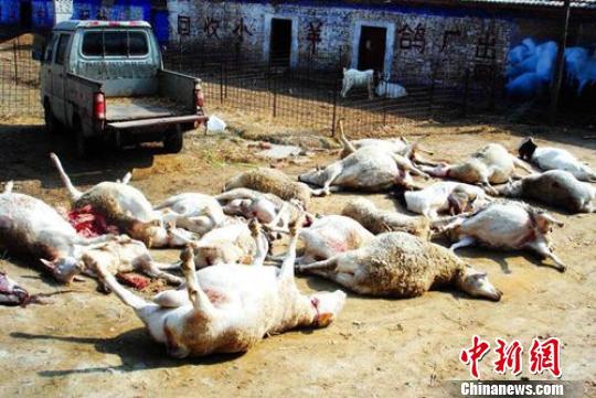 16日下午,羊圈里的山羊陆续倒地死亡,经解剖是中毒. 张建设 摄