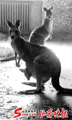 袋鼠宝宝还在妈妈的育儿袋里-大同动物园内新添4只非洲宝宝