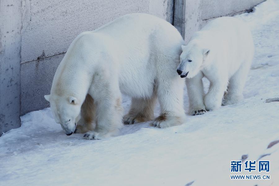 芬兰迷航近25年最暖冬天北极熊动物园晒太阳(鲨鱼)深海经历海藻区的组图图片