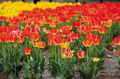 过一冬的蛰伏,草木发芽,春花吐蕊,生机盎然.   美人梅