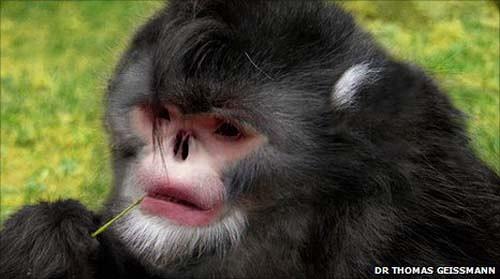 """根据国际野生动植物保护协会的消息?这种被称为""""rhinopithecus""""的猴子全身大部分为黑色毛发覆盖?只有嘴部边缘有白色毛发。它们已经濒临灭绝?现存数量只有300左右。"""