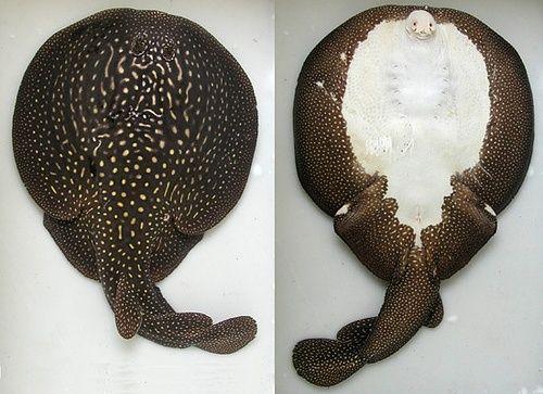 它能够释放出电光?主要生活在鱼种类繁多的印度洋西部?是迄今单鳍电鳐科家族中体型最大的物种。