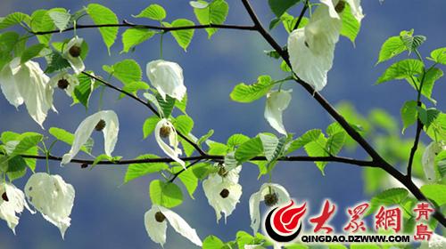 青島世 青岛/珙桐树,花开时两个孢片张开,样子像飞翔的白鸽,也叫鸽子树