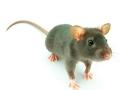 老鼠逆袭记