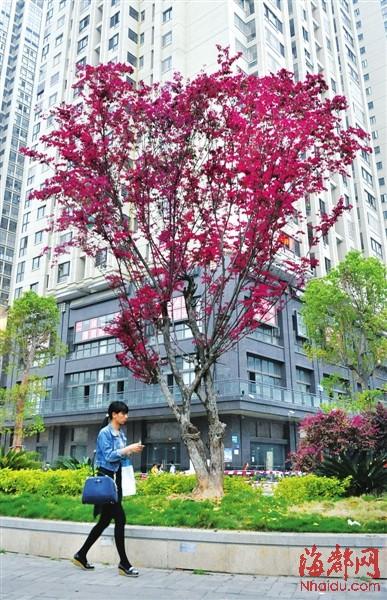 维垹�nzy��NYH_园林专家说,红花檵木生长缓慢,这棵是福州少有的高大上
