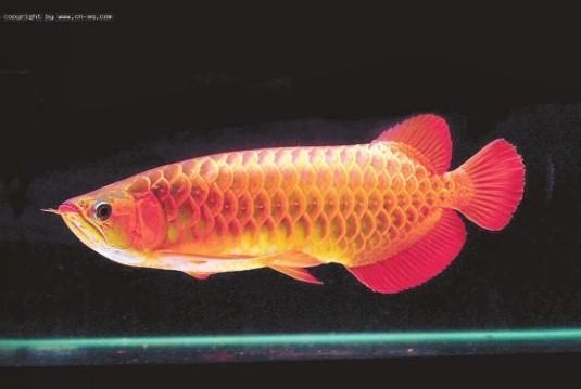 观赏鱼资料图