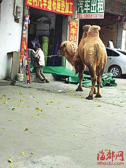 牵骆驼的乞丐