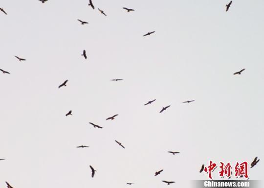 新疆梨城库尔勒近一周每天千余只老鹰定时造访